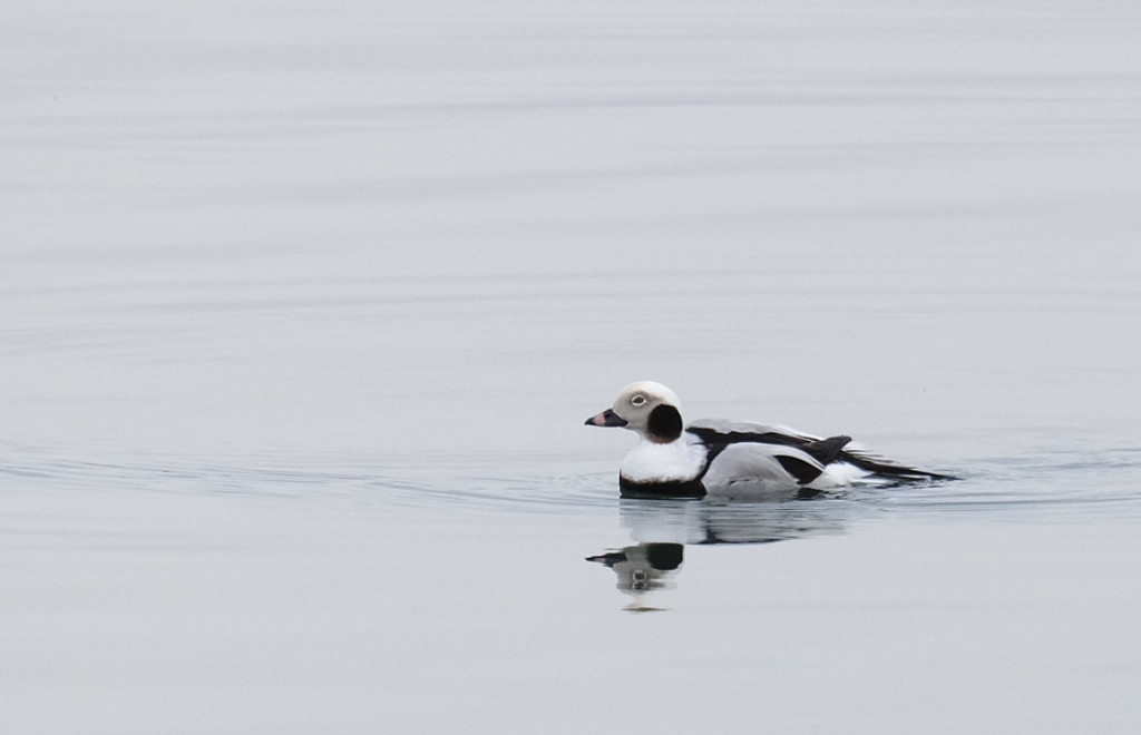 A Long Tailed Duck in Sag Harbor